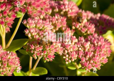 Honigbiene, die Fütterung auf Sedum Spectabile Pflanze - Stockfoto