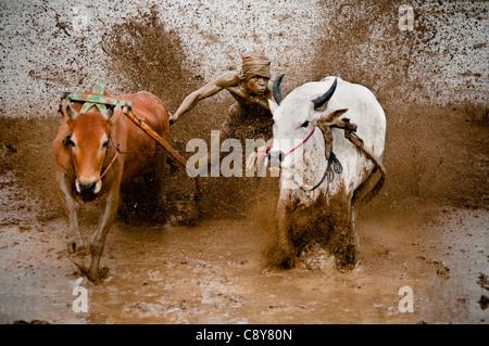 Start-und Landebahn Kühe, Kuh racing Fahrer, die ernsthaft Kontrolle Geschwindigkeit der Kuh. - Stockfoto
