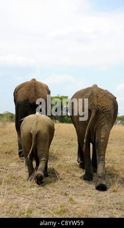 Afrikanische Elefanten genießen die Freiheit der Imire Safari Ranch in Marondera, Simbabwe. - Stockfoto