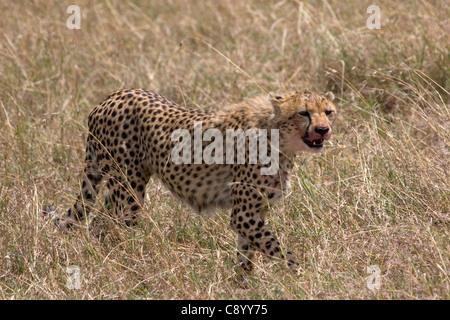 Gepard, Acinonyx Jubatus Blut im Gesicht nach der Jagd in der Masai mara - Stockfoto
