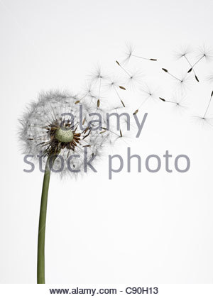 Nahaufnahme von Löwenzahn Sporen wegblasen - Stockfoto