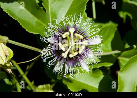 Den Niederlanden, Oranjestad, Sint Eustatius Insel, Niederländische Karibik. Blume im Botanischen Garten. - Stockfoto