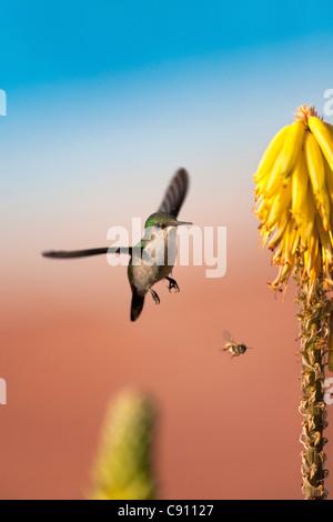 Den Niederlanden, Oranjestad, Sint Eustatius Insel, Niederländische Karibik. Antillean Crested Kolibri. Weiblich. - Stockfoto
