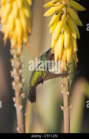 Den Niederlanden, Oranjestad, Sint Eustatius Insel, Niederländische Karibik. Antillean Crested Kolibri. Männlich. - Stockfoto