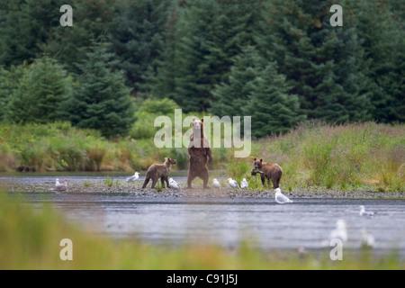 Braunbär säen mit zwei jungen stehen Warnung am Ufer, Prince William Sound, Alaska Yunan, Sommer - Stockfoto