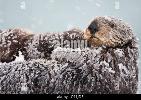 Sea Otter mit Schnee bedeckt Pelz mit neugeborenen Welpen während Blizzard, Prinz-William-Sund, Yunan Alaska, Winter - Stockfoto