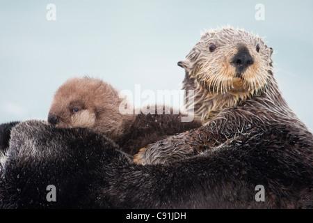 Sea Otter mit Schnee bedeckt halten neugeborenen Welpen, Prinz-William-Sund, Yunan Alaska Winter Fell - Stockfoto