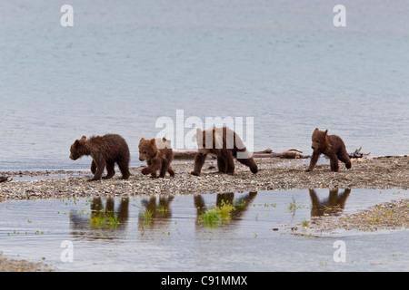Vier Brown Bärenjungen Fuß entlang der Nehrung während ihrer Überlegungen in einem Pool, Brooks Camp, Katmai Nationalpark, - Stockfoto
