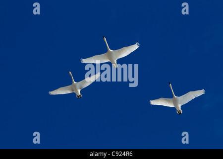 Drei Trumpeter Schwäne im Flug über Kopf während Frühjahrszug, Marsh Lake, Yukon Territorium, Kanada - Stockfoto