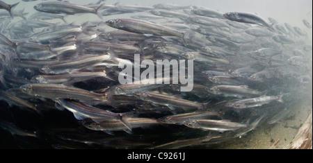 Unterwasser-Blick der Laich Migration von Hooligan in Alaganik Slough, Copper River Delta, South Central Alaska - Stockfoto