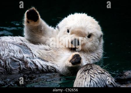 CAPTIVE Nahaufnahme von zwei Seeotter Interaktion im Point Defiance Zoo, Tacoma, Washington, USA - Stockfoto