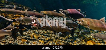 Unterwasser-Blick von klaffenden Coho Lachs unter anderem und Sockeye Lachs in Hartney Creek, Copper River Delta, - Stockfoto