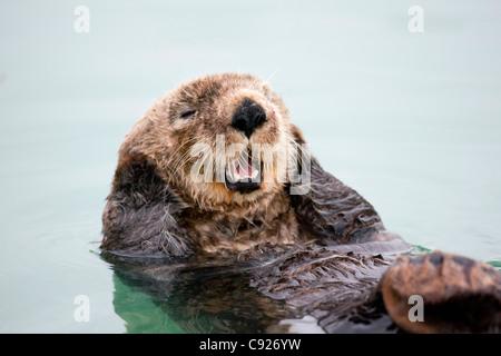 Ein Erwachsener Seeotter schwimmt in den ruhigen Gewässern des Sommers Valdez kleinen Bootshafen, Yunan Alaska - Stockfoto
