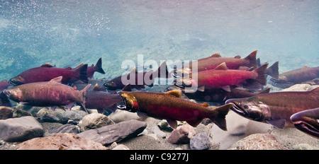 Unterwasser-Blick von Dolly Varden Saibling & Coho auf ihren Laich Migration in Power Creek, Copper River Delta, - Stockfoto