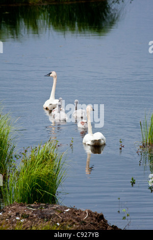 Zwei Erwachsene Trumpeter Schwäne nehmen ihre vier jungen Küken für ein erfrischendes Bad in einem Teich entlang - Stockfoto