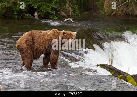 Ein einsamer Mann Braunbär steht an der Spitze des Brooks Falls, Brooks Camp, Katmai National Park, Yunan, Alaska, - Stockfoto