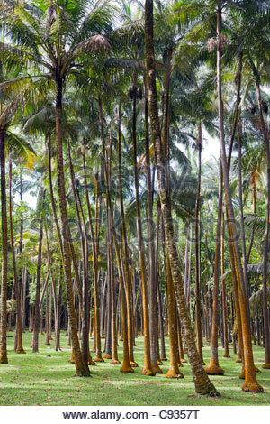 La Réunion: Palmen am Anse des Cascades - Stockfoto