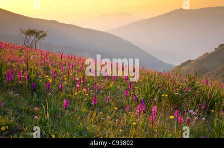 Italien, Umbrien, Forca Canapine. Rosa Orchideen wachsen auf den Forca Canapine, Nationalpark Monti Sibillini, gebadet - Stockfoto