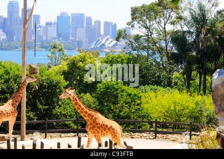 Giraffe in ihrem Gehege im Taronga Zoo am Ufer des Sydney Harbour im Vorort Mosman mit Sydney CBD hinter's. - Stockfoto
