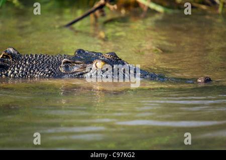 Salzwasser-Krokodil (Crocodylus Porosus) in den Mary River Feuchtgebieten. Mary-River-Nationalpark, Northern Territory, - Stockfoto