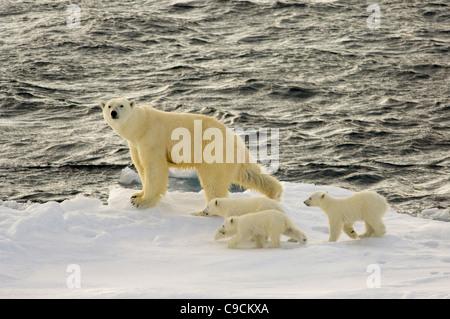 Weiblicher Eisbär (Ursus Maritimus) mit drei jungen Jungen auf schwimmenden driften Eis, Freemansundet (zwischen - Stockfoto