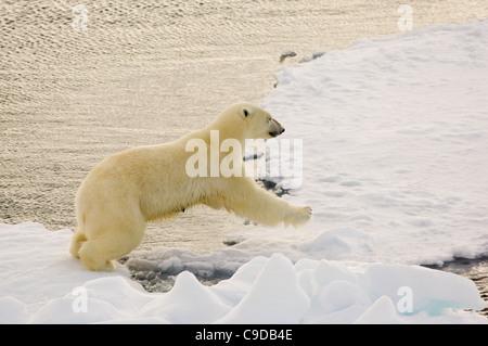 Weiblicher Eisbär (Ursus Maritimus) springen zwischen schwimmenden Treibeis, Freemansundet (zwischen Barentsøya - Stockfoto