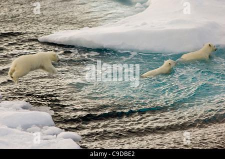 Junge Polar Bear Cub (Ursus Maritimus) springen ins Meer von schwimmenden Treibeis, nachdem es zwei Geschwister, - Stockfoto