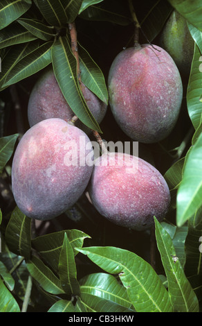 mango baum bl tter stockfoto bild 52454719 alamy. Black Bedroom Furniture Sets. Home Design Ideas
