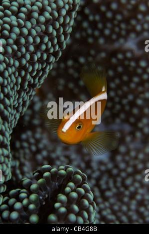 Orange-Anemonenfische, Amphiprion Sandaracinos, Nusa Laut, Bandasee, Molukken, Indonesien, Pazifik - Stockfoto