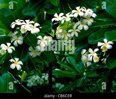 Blüten der weißen Frangipani, Plumeria Obtusa, Lobelia, West Indies ...