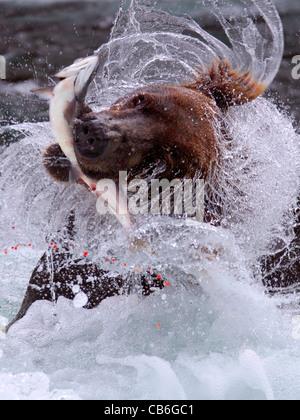 Grizzly Bär Ursus Arctos - Stockfoto