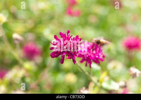 Globus Amaranth, Klotamarant (Gomphrena Nana) - Stockfoto