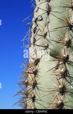 Saguaro Kaktus (Carnegiea Gigantea) Stamm - Stockfoto