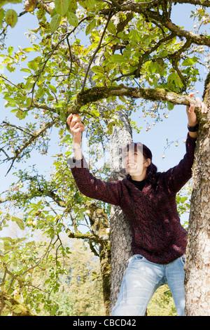 Frau pflücken Äpfel im Obstgarten - Stockfoto