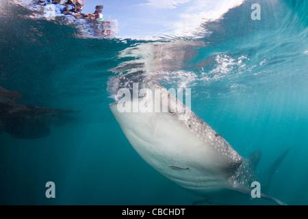 Fütterung Walhai Rhincodon Typus, Cenderawasih-Bucht, West Papua, Indonesien - Stockfoto