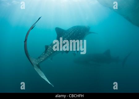 Zwei Walhai Rhincodon Typus, Cenderawasih-Bucht, West Papua, Indonesien - Stockfoto