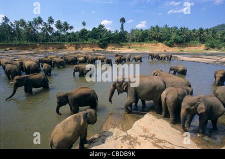 Asiatische Elefanten (Elephas Maximus) auf Maha Oya Fluss, Waisenhaus Pinnawela, Sabaragamuwa in der Nähe von Kandy, - Stockfoto