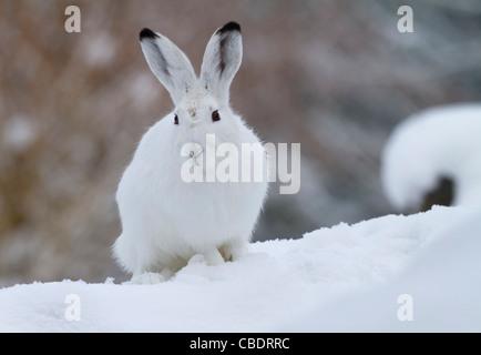 Schneehase im Schnee (Lepus Timidus) - Stockfoto