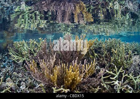 Hirschhorn Korallen, Acropora spp., konkurrieren mit schnell wachsenden Gorgonien für Speicherplatz auf einem flachen - Stockfoto