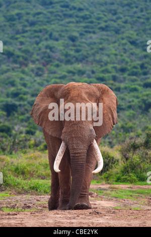 Eine große Elefantenbullen (Loxodonta Africana) gefangen in Hapoor Dam im Addo Elephant National Park in Südafrika. - Stockfoto