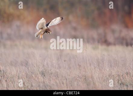 Wilde Short Eared Owl schwebt über Beute auf grobe Grasland in Leicestershire - Stockfoto