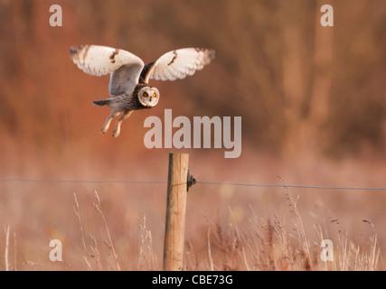 Wilde Short Eared Owl über den Boden auf hölzernen Pfosten auf Grasland in Leicestershire - Stockfoto