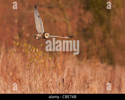 Wilde Short Eared Owl-Jagd über grobe Grasland in Leicestershire - Stockfoto