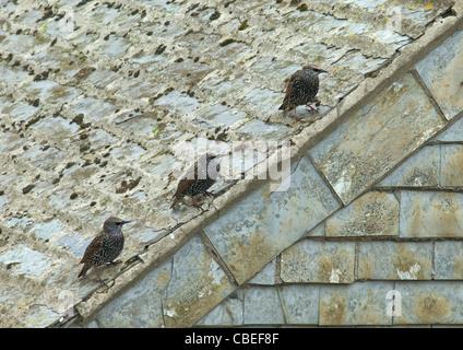 Drei Stare Sturnus Vulgaris, Line-up auf Schiefer auf dem Dach, St. Ives, Cornwall, Südwesten, England, UK, Deutschland, - Stockfoto