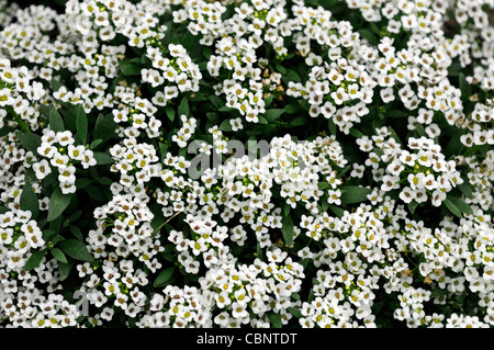 alyssum sweet stockfoto bild 62784758 alamy
