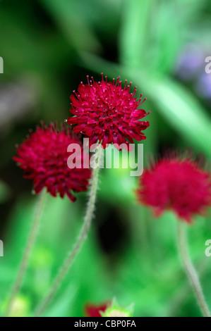 knautia macedonica im august closeup pflanze portr ts dunklen roten bl ten bl hen blumen stauden. Black Bedroom Furniture Sets. Home Design Ideas
