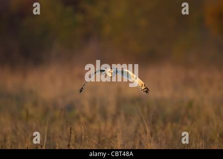 Kurze Eared Owl-Jagd in der Wintersonne - Stockfoto