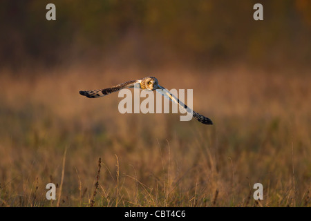 Short-Eared Eule (Asio Flammeus) Jagd in der Wintersonne - Stockfoto
