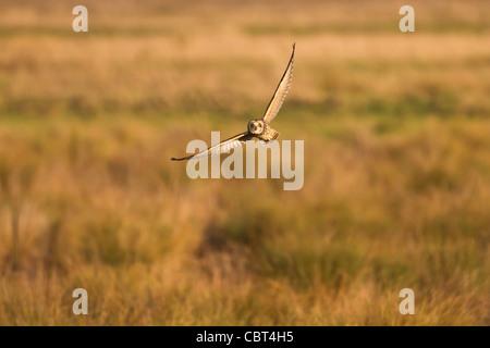 Short-Eared Eule (Asio Flammeus) Jagd in der Wintersonne - Stockfoto
