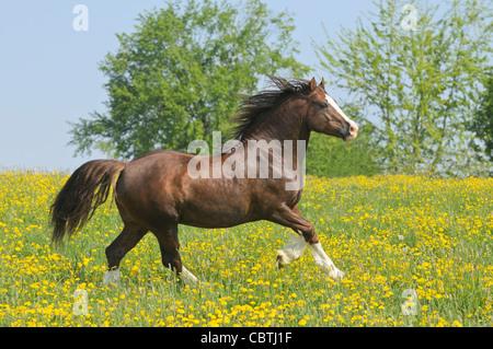 Welsh pony Hengst im Galopp auf dem Gebiet - Stockfoto